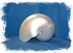 Наутилус Помпилиус полированный 12 - 14 см