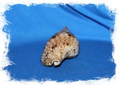 Ракушка Харония Тритонис, Тритоний Рог, Charonia tritonis. Купить