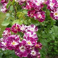 Роза плетистая Пурпл Сплеш