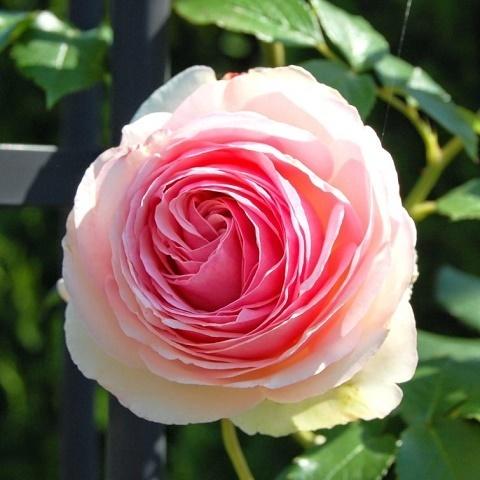 Роза плетистая Эден Роуз, Мейланд