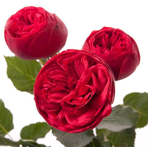Розы кустовые пионовидные Red Piano от 9шт