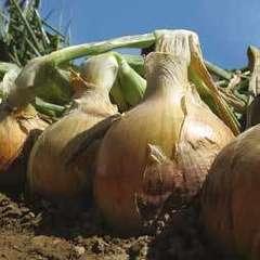 Меранто F1 семена лука репчатого, (Hazera / Хазера)