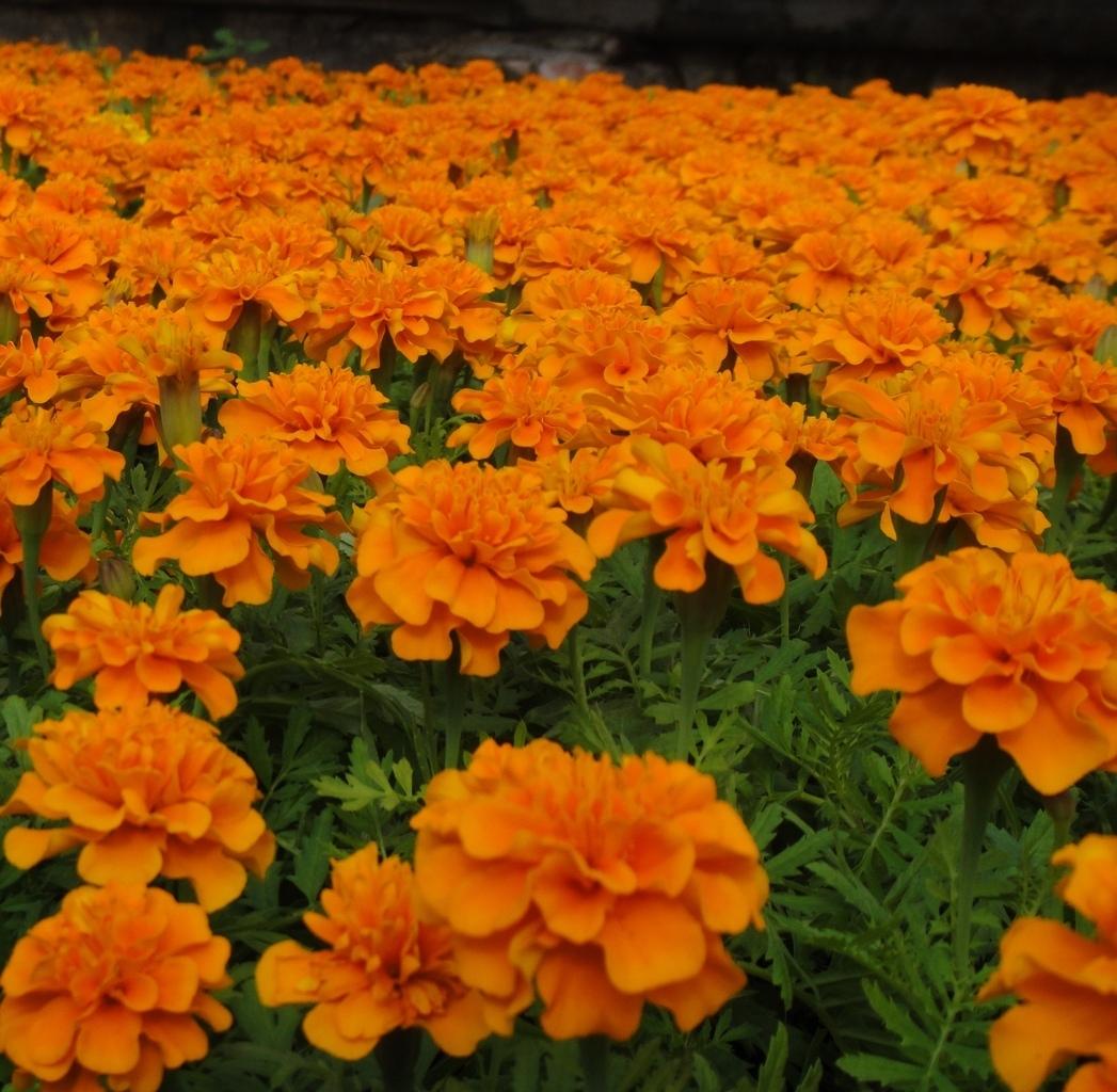 Цветы Семена цветов Бархатцы отклоненные Супер Хироу Хармони, Benary, 15 шт. image_259.jpg
