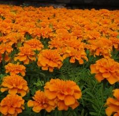 Семена цветов Бархатцы отклоненные Супер Хироу Хармони, Benary, 15 шт.