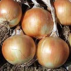 Стартер F1 семена лука репчатого, (Hazera / Хазера)