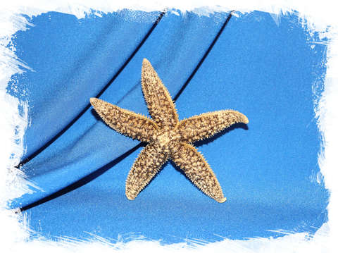 Морская звезда бежево-коричневая 10 см.