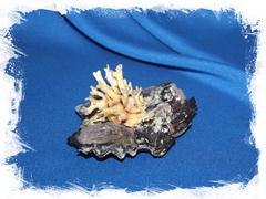 Коллекционная раковина Chama lazarus на устрице