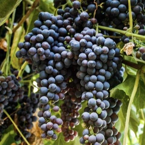 Виноград столовый сорт Кишмиш Черный изумруд
