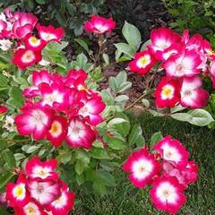 Роза мускусный гибрид Букаву Северный огород