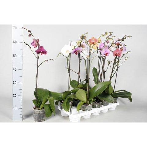 Фаленопсис (Орхидея) d 12