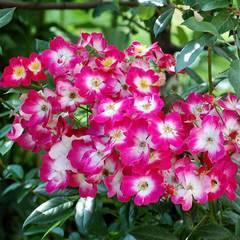 Купить Роза мускусный гибрид Bukavu
