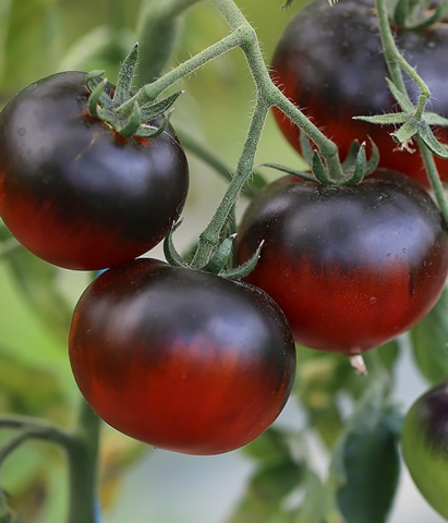 Семена Томат Блю П-20 (Blue P-20), 10 сем