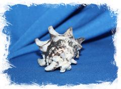 Ракушка Вазум Керамикум, Vasum ceramicum