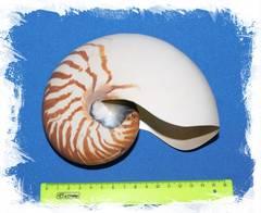 Наутилус Помпилиус размер