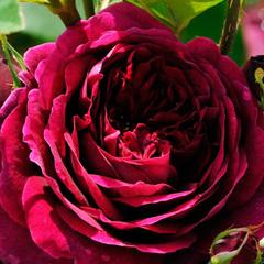 Роза парковая Зе Принц