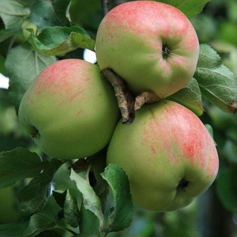 Яблоня зимний сорт Антоновка десертная