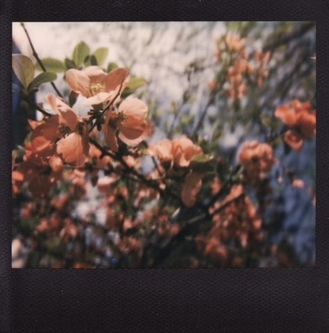 Quince in bloom (Lance trussell)