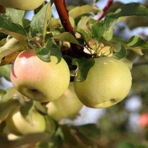 Яблоня осенний сорт Детское