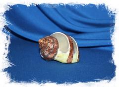Морская перламутровая ракушка для декора