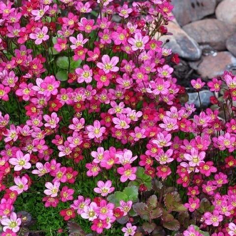 Камнеломка Арендса розовая