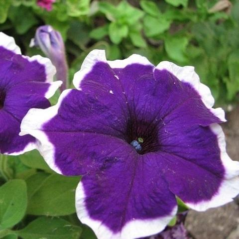 Петуния крупноцветковая фиолетовая с белой каймой