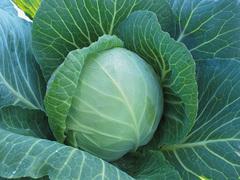 Белокочанная Радан F1 семена капусты белокочанной, (Enza Zaden / Энза Заден) radan.jpeg