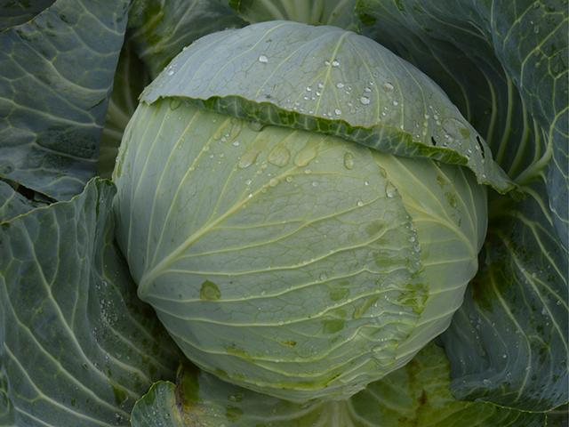 Белокочанная Аланек F1 семена капусты белокочанной, (Enza Zaden / Энза Заден) alanek.jpeg