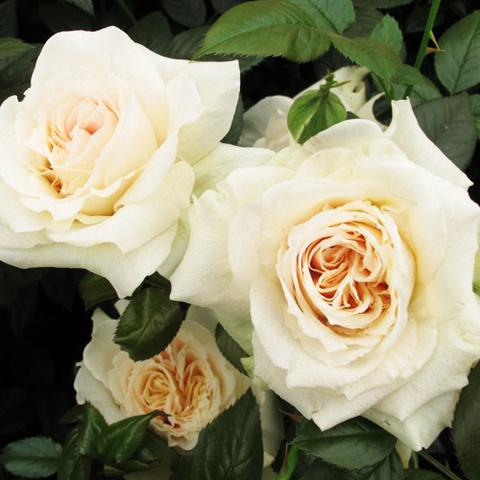 Роза флорибунда Прайд энд Преджудис