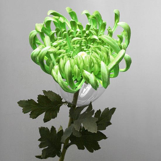 Хризантема зеленая,  А 101-1