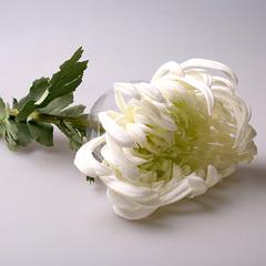Хризантема белая, А 101-3