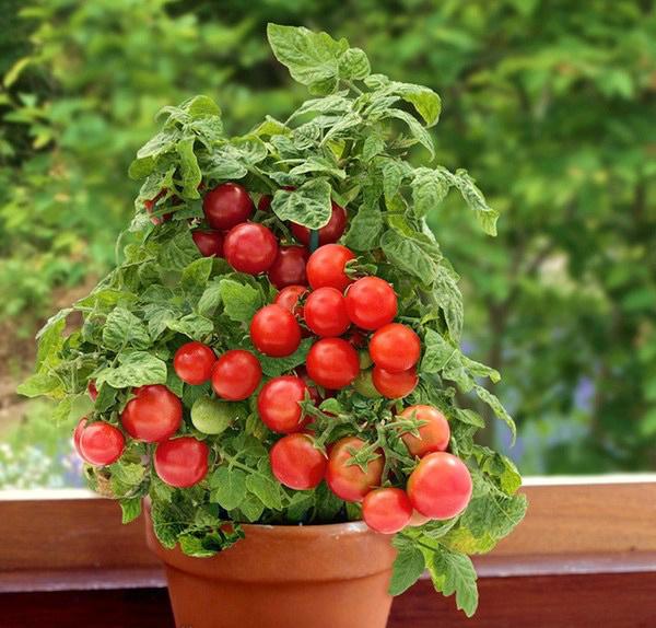 Томат детерминантный (Красные, сладкие) Sweet 'n' Neat Cherry Red