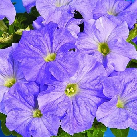 Петуния крупноцветковая небесно-голубая