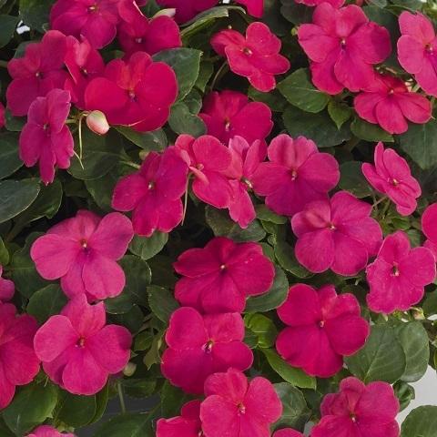 Бальзамин ярко-розовый