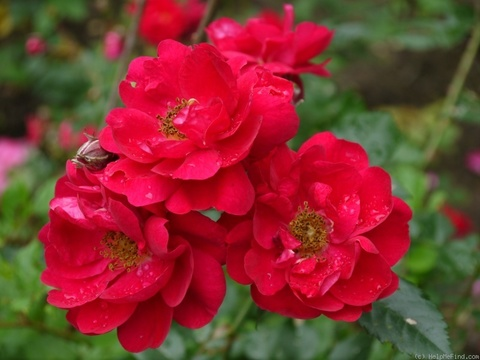 Роза Генри Келси парковая