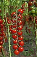 Алигриция F1 семена томата индетерм.., (Vilmorin / Вильморин)