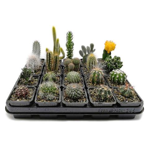 Копмплект из 20 кактусов