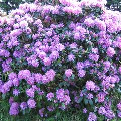 Рододендрон гибридный Пурпуреум Грандифлорум