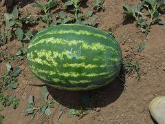Арбуз E-42 F1 семена арбуза, (Takii / Таки) e_42_семена_овощей_оптом.jpeg