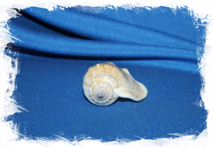 Раковина Strombus epidromis, Labiostrombus epidromis