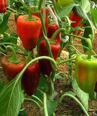 Семена перца Ариадни F1, (Seminis / Семинис)
