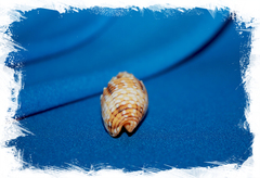Митра пунктикулата (Mitra puncticulata)