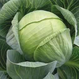 Белокочанная Гилсон F1 семена капусты белокочанной, (Hazera / Хазера) Гилсон_F1.jpg