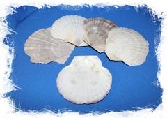 Дальневосточный Морской Гребешок (плоская створка)