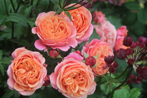 Роза чайно-гибридная Мэри Энн