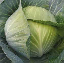 Белокочанная Лион F1 семена капусты белокочанной (Hazera / Хазера) Лион_F1.jpg