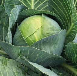 Белокочанная Стинг F1 семена капусты белокочанной (Hazera / Хазера) Стинг_F1.jpg