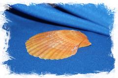 Оранжевый гребешок 1 створка