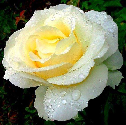 Роза чайно-гибридная Шопен (в тубе)