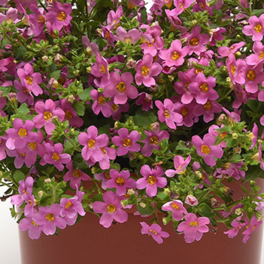 Цветы Семена цветов Бакопа Пинктопия, PanAmerican Seed, 5 шт. PINKTOPIY550350bb95507587.png