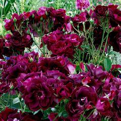 Роза флорибунда Бургунди Айс